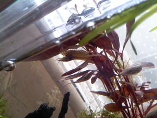 ヤマトヌマエビとレッドグラス