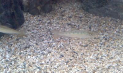 渓流魚の稚魚