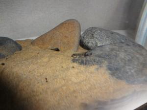 カジカ稚魚