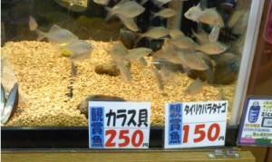 タイバラとカラス貝