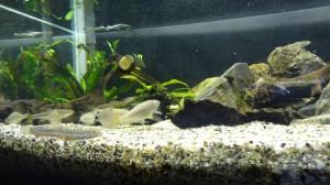 川魚混泳水槽