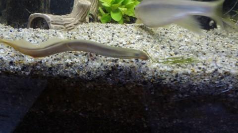 スナヤツメの成体