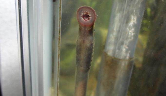遊星からの物体スナヤツメを捕まえて飼育してみました