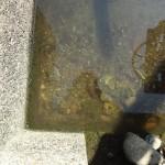 用水路はいろんなお魚と出会える場所である