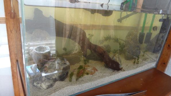 日本淡水魚水槽